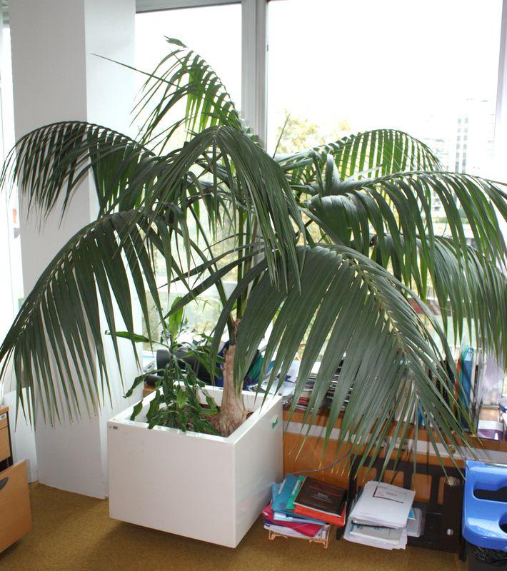 Plante dinterieur kentia et composition r66517 pot carre for Plante kentia