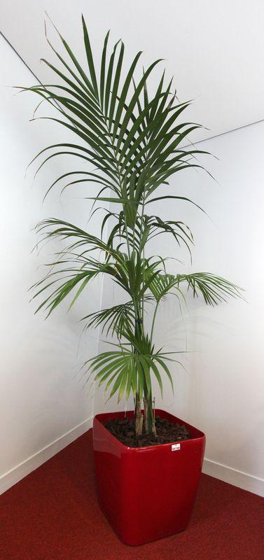 plante verte vendue avec son pot de marque lechuza laque sang de boeuf dim 47x50x50 cm hauteur de l. Black Bedroom Furniture Sets. Home Design Ideas