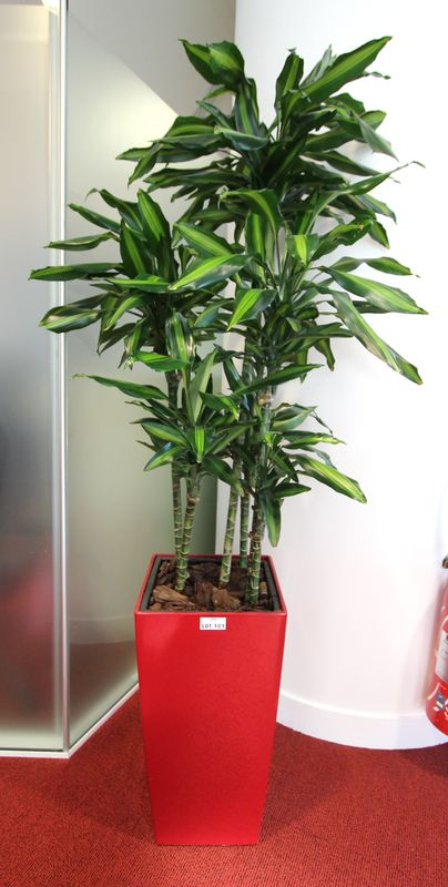 plante verte vendue avec son pot de marque lechuza laque sang de boeuf dim 56x30x30 cm hauteur de l. Black Bedroom Furniture Sets. Home Design Ideas