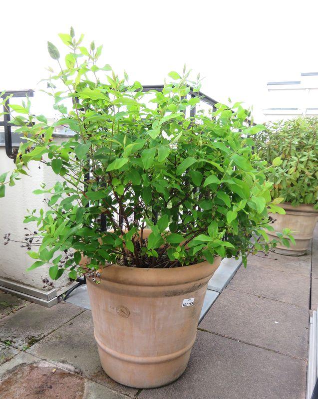 2 plantes dexterieur en pot rond dont 1 de 55 cm de diametre par 45 cm de haut hauteur de la plante. Black Bedroom Furniture Sets. Home Design Ideas