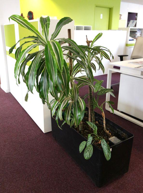 plante verte dinterieur dans sa jardiniere rectangulaire noire environ 130 cm de hauteur. Black Bedroom Furniture Sets. Home Design Ideas