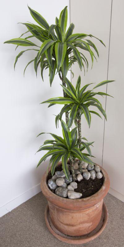 plante-verte-naturelle-de-type-yucca-dans-son-pot-en-terre-cuite-dun-diametre-de-50cm-5712