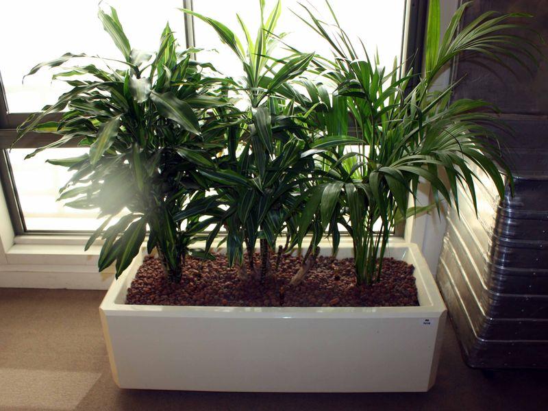 plante interieur palmier great arca palmier duarec with plante interieur palmier top yucca. Black Bedroom Furniture Sets. Home Design Ideas