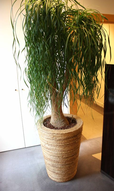 plante dinterieur pied delephant dans son pot en panier tresse hauteur 220 cm diametre 60 cm 5eme p. Black Bedroom Furniture Sets. Home Design Ideas