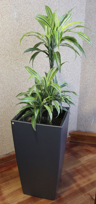 plante verte dinterieur type dracaena dans son pot en pvc gris hauteur avec bac 160 cm accueil rdc. Black Bedroom Furniture Sets. Home Design Ideas