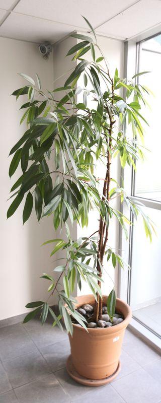plante environ 15 m de h dans un pot de forme ronde en terre cuite de marque ravel a aubagne 48 x 5. Black Bedroom Furniture Sets. Home Design Ideas