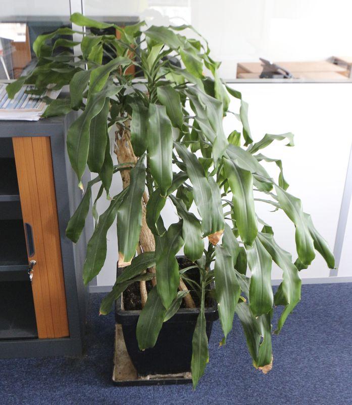 plante verte naturelle dans son pot en pvc noir hauteur environ 140 cm. Black Bedroom Furniture Sets. Home Design Ideas