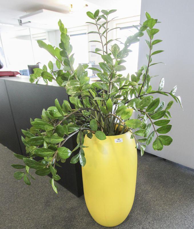 plante verte dinterieur type zamioculcas dans son bac jaune hauteur environ 140 cm. Black Bedroom Furniture Sets. Home Design Ideas