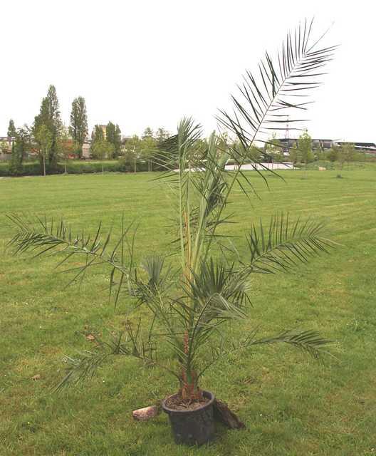 palmier 4 ans